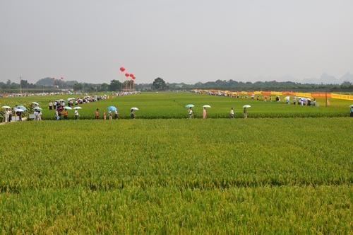 """广西第六届""""看禾选种 助农增收""""活动桂林展示核心基地盛况"""